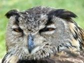 owl squinting eyes